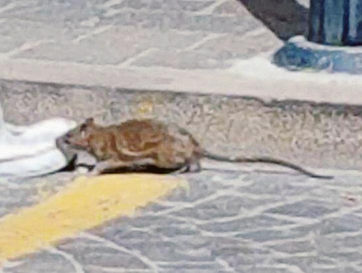 Una colonia di topi nella scuola